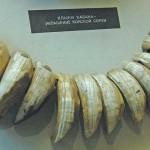 Eyer süsü olarak yabani bir hayvanın dişleri